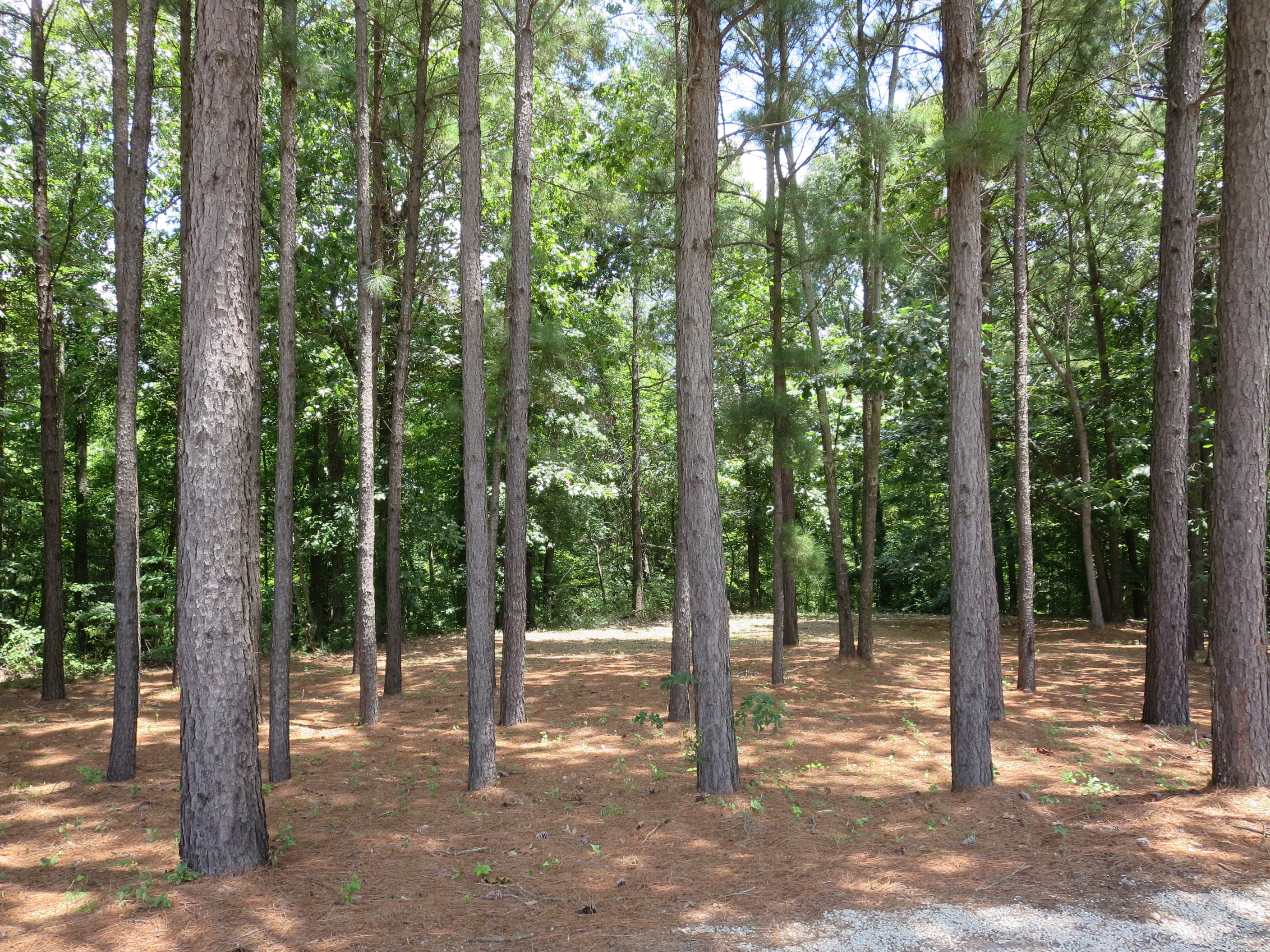 Pine trees in the Tent camping area